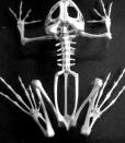 Xương ếch với xương chính và phụ
